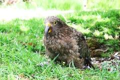 Молодой попугай сидя в траве, Новая Зеландия Kea Стоковые Изображения RF