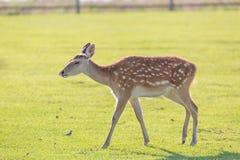 Молодой портрет оленей на ферме поля зеленой травы Стоковые Изображения