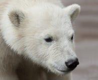 Молодой портрет полярного медведя Стоковые Фотографии RF
