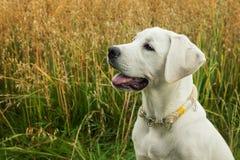 Молодой портрет щенка собаки labrador перед полем Стоковые Изображения RF