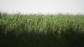 Молодой пошатывать зеленой травы видеоматериал
