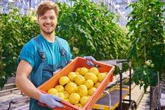 Молодой привлекательный человек жать томаты в парнике Стоковая Фотография