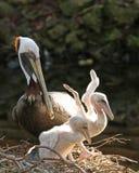Молодой протягивать пеликанов Стоковые Изображения