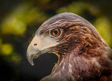 Молодой профиль белоголового орлана Стоковые Фото