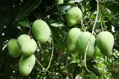молодой плодоовощ манго Стоковое Изображение