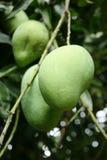молодой плодоовощ манго Стоковое Изображение RF