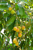 Молодой плодоовощ lychee на дереве Стоковое Фото