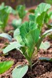 Молодой расти капусты Стоковая Фотография RF