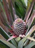 Молодой растущий ананас Стоковое Изображение