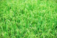 Молодой растущий рис стоковая фотография