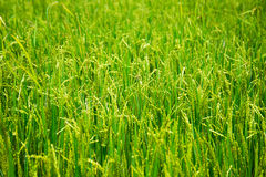 Молодой рис в поле Стоковое фото RF