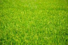 Молодой рис в поле Стоковые Изображения