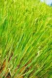 Молодой рис в поле Стоковое Изображение