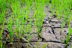 Молодой рис Стоковое Изображение RF
