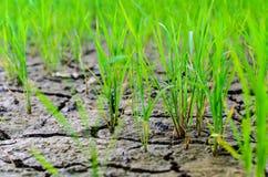 Молодой рис Стоковая Фотография RF