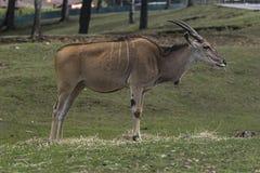 Молодой роговой животный вахта Стоковые Фотографии RF