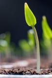 Молодой росток в весеннем времени Росток крупного плана жизнь новая Стоковое Изображение