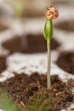 Молодой росток в весеннем времени Росток крупного плана жизнь новая Стоковые Изображения