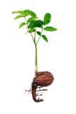 Молодой росток грецкого ореха Стоковое Фото