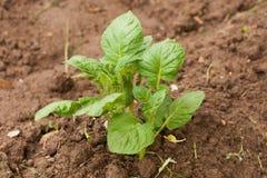 Молодой росток картошки при листья зеленого цвета растя от почвы Стоковые Фотографии RF