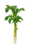 Молодой росток картошки Стоковое Изображение