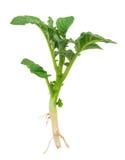 Молодой росток картошки Стоковая Фотография RF