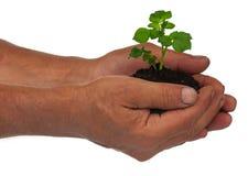 Молодой росток картошки Стоковое фото RF