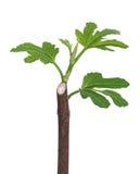Молодой росток смоквы Стоковые Фотографии RF