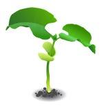 Молодой росток фасоли иллюстрация штока