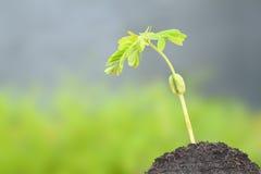 Молодой рост ростка тамаринда Стоковое Изображение RF