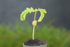 Молодой рост ростка тамаринда Стоковые Фотографии RF