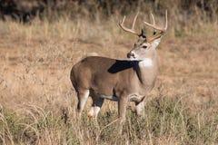 Молодой самец оленя в взгляде портрета Стоковое Изображение