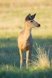 Молодой самец оленя в солнечном свете Стоковое фото RF
