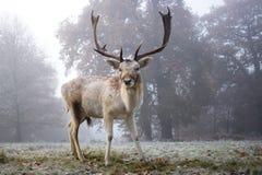 Молодой самец оленя в тумане раннего утра Стоковые Изображения