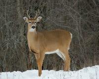 Молодой самец оленя оленей бело-кабеля Стоковые Изображения