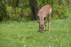 Молодой самец оленя пася на траве Стоковая Фотография