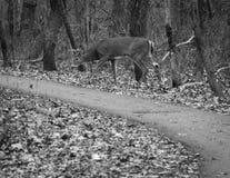 Молодой самец оленя пася Стоковые Фото