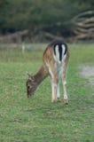 Молодой самец оленя пася Стоковые Изображения RF