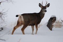 Молодой самец оленя после снежностей Стоковые Изображения