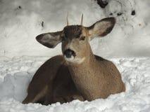 Молодой самец оленя принимая остатки на снежный день Стоковое фото RF