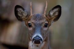Молодой самец оленя с короткими рожками Стоковые Изображения