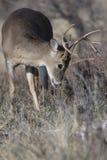 Молодой самец оленя уча отметить территорию Стоковая Фотография RF