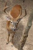 Молодой самец оленя Стоковое Изображение RF