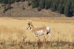 Молодой самец оленя Pronghorn Стоковые Изображения