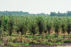 Молодой сад вишни строки молодых деревьев, лето Стоковое Изображение RF