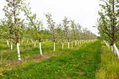 Молодой сад зацвел весна Стоковые Изображения RF