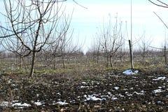 Молодой сад яблока Стоковая Фотография