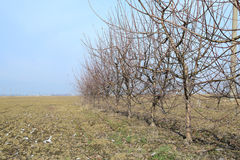 Молодой сад яблока Стоковое Фото