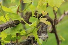 Молодой свежий всход виноградного вина Стоковое Изображение