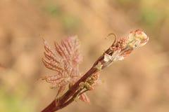 Молодой свежий всход виноградного вина Стоковые Изображения
